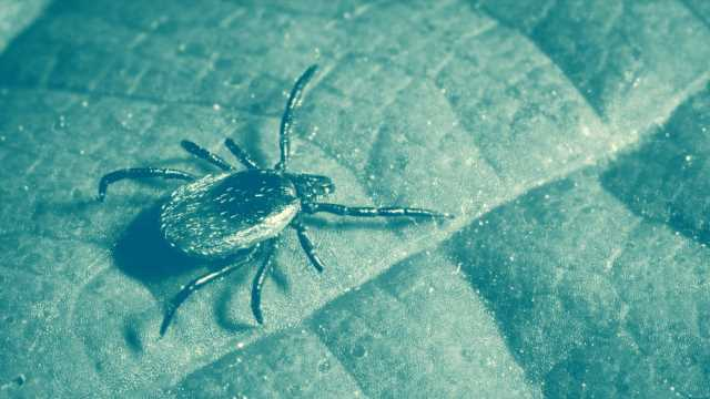 This Tick-borne Illness Can Cause Fatal Swelling of the Brain—and Can Be Transmitted in Just 15 Minutes